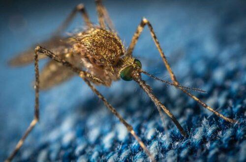 moustique tigre : attention à son retour dans les départements français