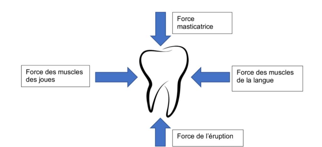 forces dents