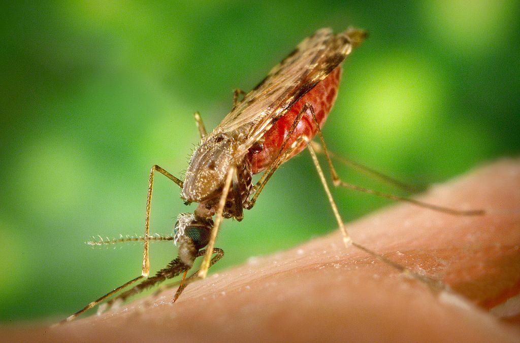 Un dels transmissors més habituals de la malària, el mosquit 'Anopheles gambiae'. CDC/James Gathany Provider