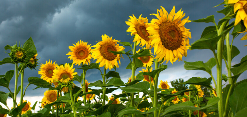 Sunflower field products 1714714561