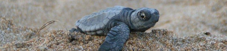 Tinytag data loggers for monitoring temperature of marine turtles' nests