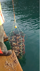 Splash 2 data logger oyster research Croatia