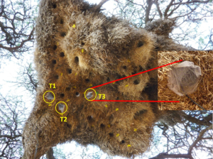 Tinytag temperature loggers monitor thermal properties of sociable weavers' nests