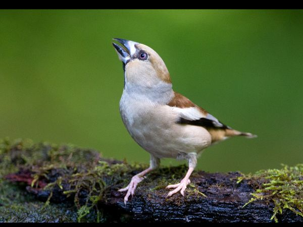 Hawfinch by pool