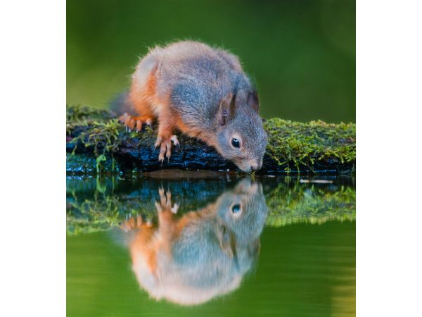 Red squirrel drinking from pool