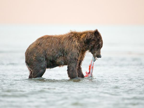 Grizzly bear cub eating salmon
