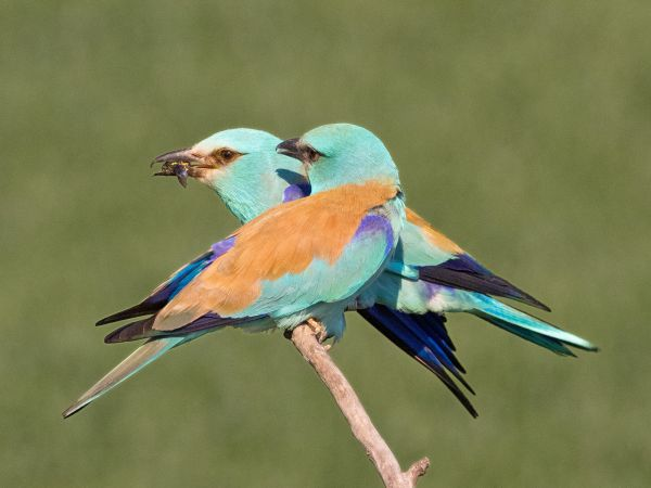 Male and Female Eurasian Rollers With Insects