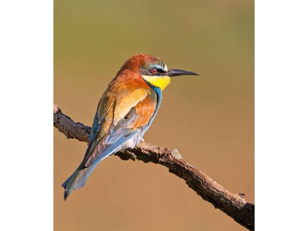 Bee Eater resting