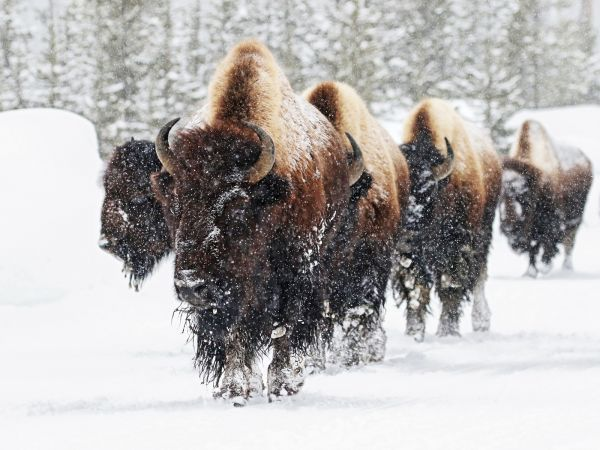 Yellowstone bison on the move