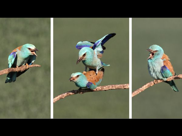 Amorous rollers