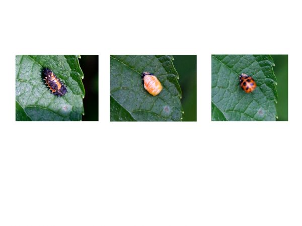 3 stages of a ladybird lava