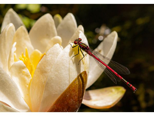 Red damsel on lily
