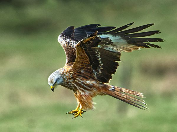 Red kite about to grab food