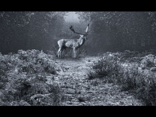 Dunham stag in winter