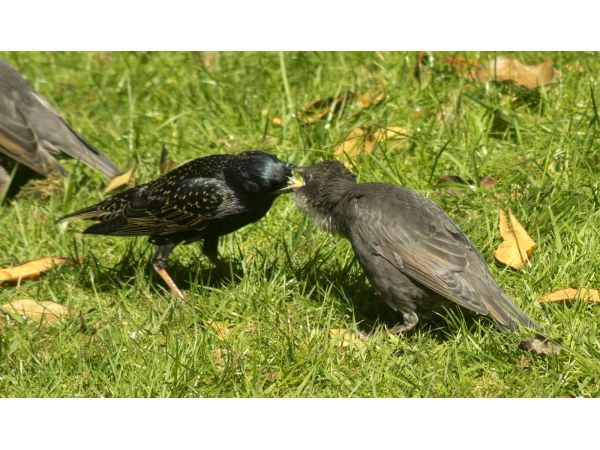 Starling fledgling being fed