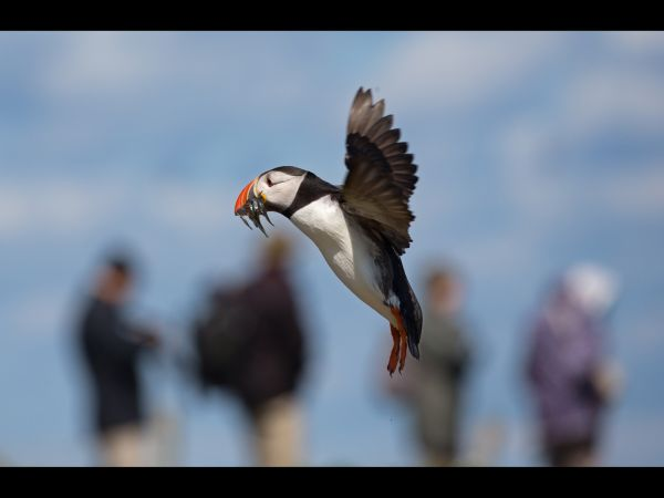 Farne island puffin landing with sand eels