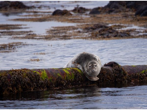 Grey seal on pipe
