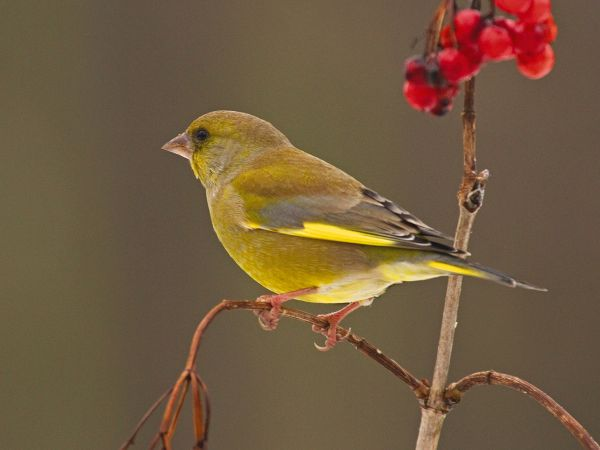 Greenfinch with berries