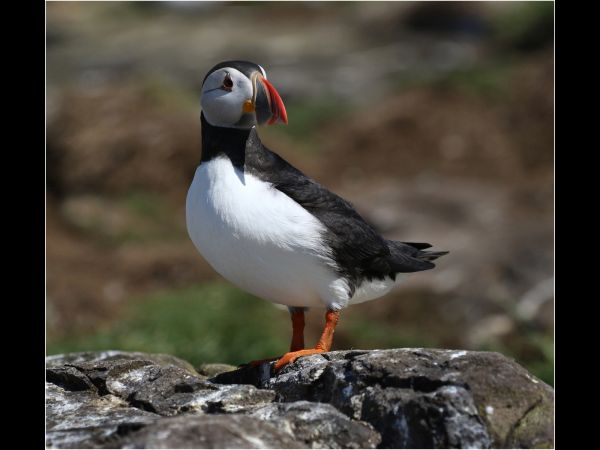 Puffin looks back