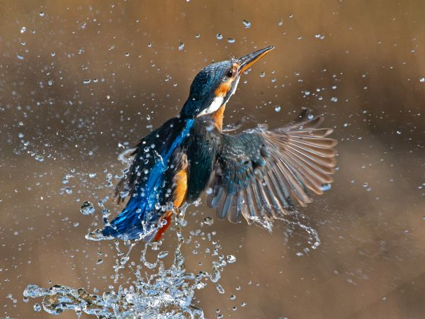 Kingfisher emerging from water
