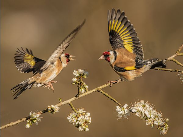 A clash of goldfinches