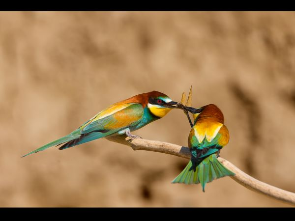 Bee Eater passing dragonfly to mate