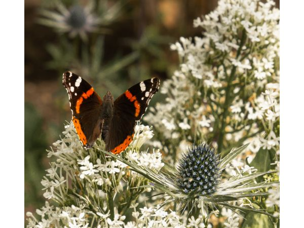 Red Admiral and sea holly