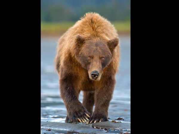 Grizzly bear in threatening posture