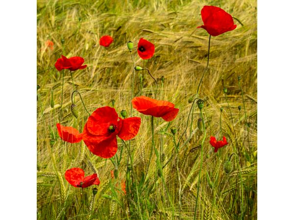 Poppies amongst the wheat