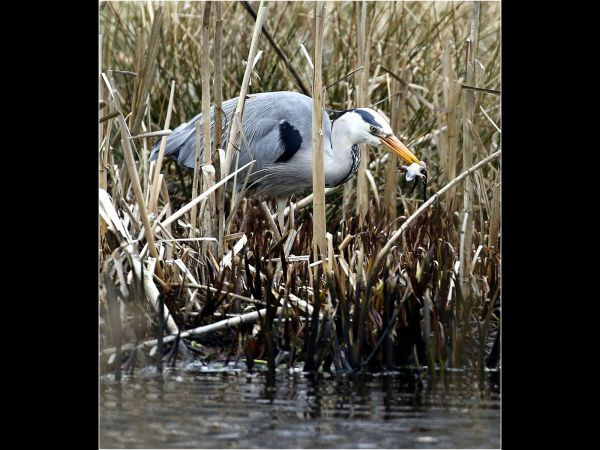 Frog for lunch for grey heron