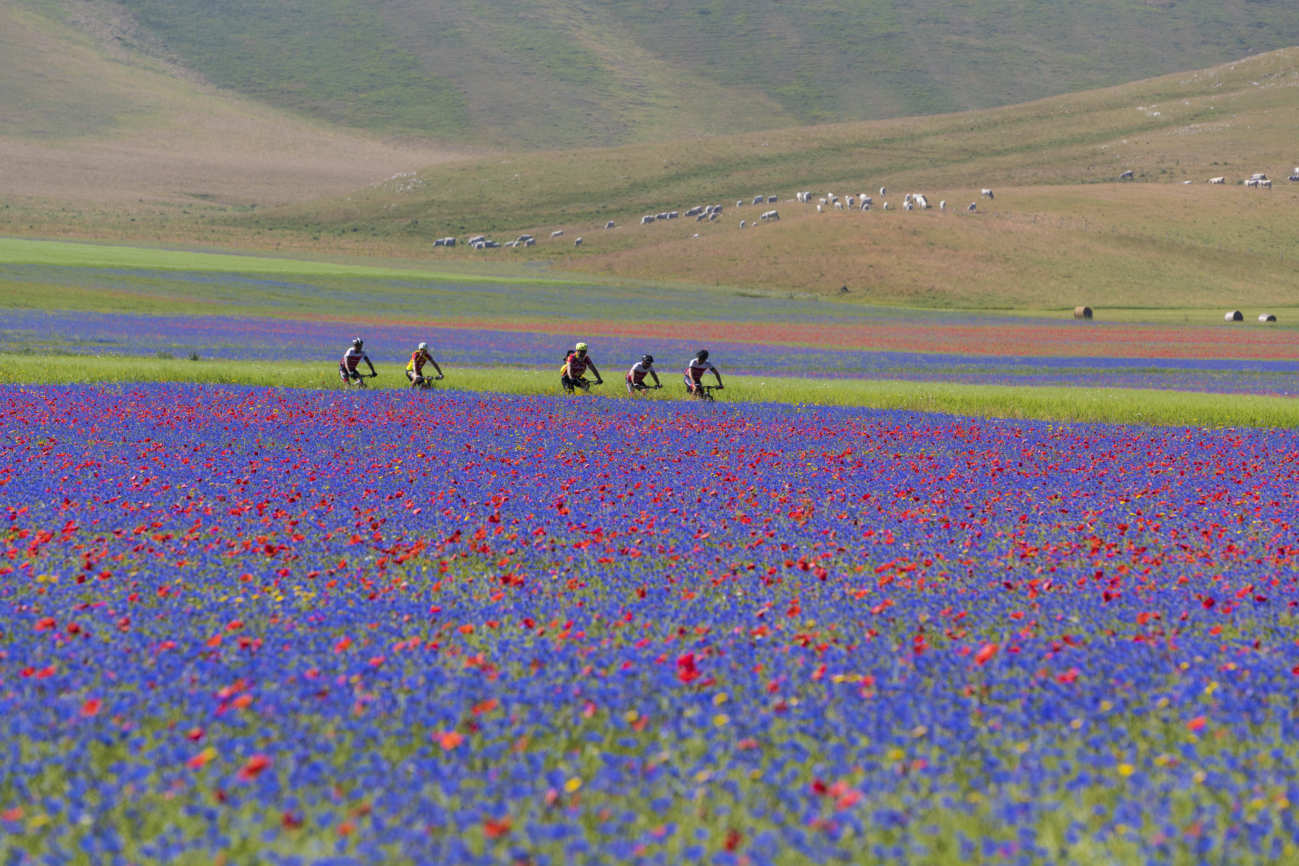 Cyclists amidst Umbrian flowers