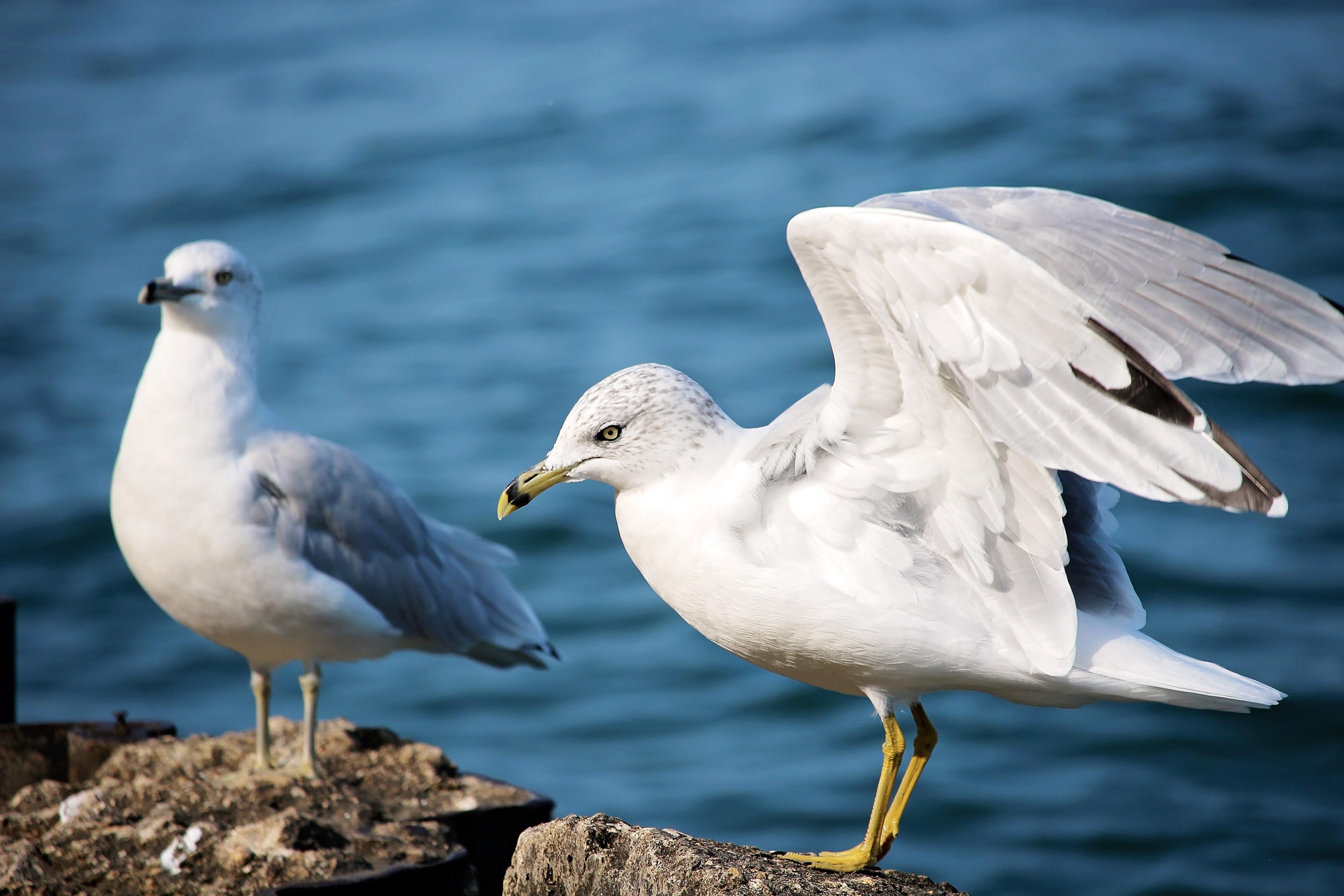 A gratuitous menacing seagull