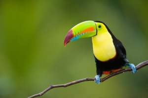 Toucan, Costa Rica