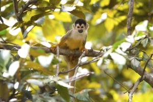 Squirrel monkey, Golfo Dulce, Costa Rica