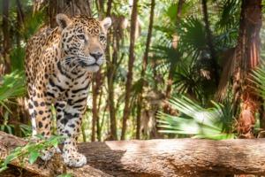 Jaguar in Belize