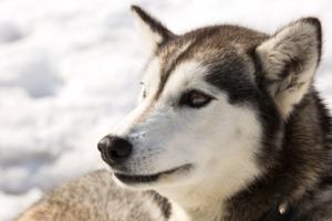 Husky in Kamchatka, Russia