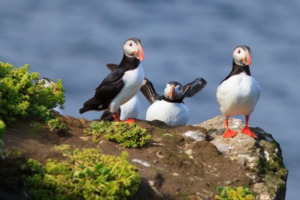 Puffins on Grimsey island, Iceland