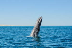 Gray whale breaching off the coast of Mexico