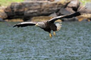 White tailed sea eagle on the Isle of Skye, Scotland