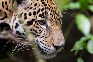 Jaguar in the jungle, Belize