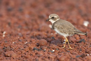 Semipalmated plover on Rábida Island, Galapagos