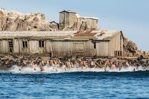 Seal colony on Tyuleniy Island, Russian Far East