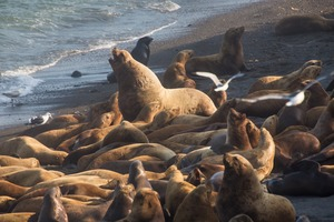 Northern fur seals on Tyuleniy Island, Russia