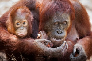 Orang utans in Camp Leakey, Indonesia