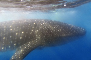 Whale shark off Donsol, Philippines