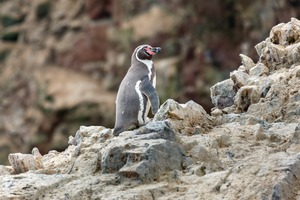 Humboldt penguin in the Ballestas Islands, Peru