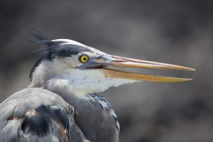 Great blue heron on Fernandina Island, Galapagos