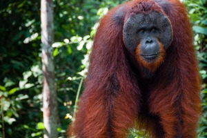 Male orang utan in Tanjung Puting National Park, Indonesia