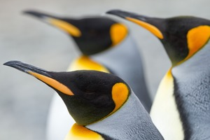 King penguins on Macquarie Island, Australia