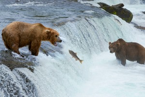 Bears fishing in Alaska
